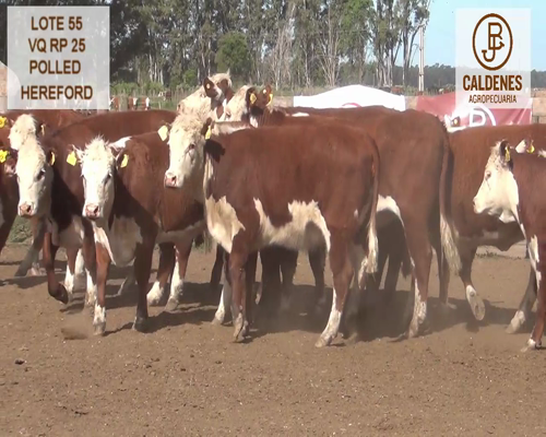 Lote VAQUILLONAS HEREFORD MOCHAS (Corral 55)