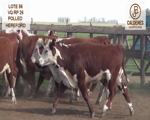 Lote VAQUILLONAS HEREFORD MOCHAS (Corral 56)