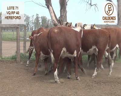 Lote VAQUILLONAS HEREFORD ASTADAS (Corral 71)