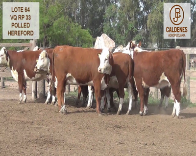 Lote VAQUILLONAS HEREFORD MOCHAS (Corral 64)