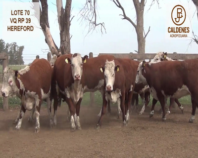 Lote VAQUILLONAS HEREFORD ASTADAS (Corral 70)