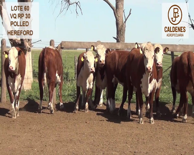 Lote VAQUILLONAS HEREFORD MOCHAS (Corral 60)