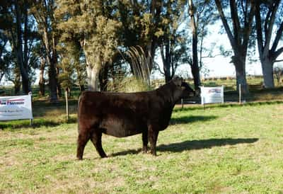 Lote VAQUILLONAS ANGUS PP