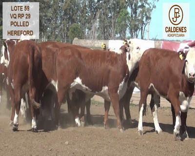 Lote VAQUILLONAS HEREFORD MOCHAS (Corral 59)