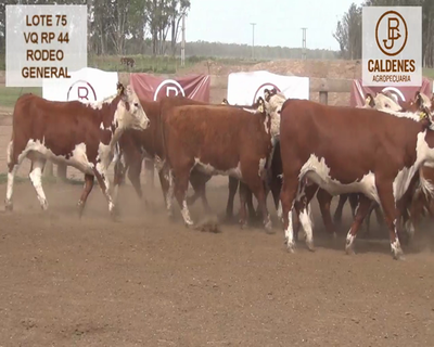 Lote VAQUILLONAS HEREFORD RG (Corral 75)