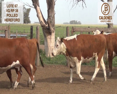 Lote VAQUILLONAS HEREFORD MOCHAS (Corral 67)
