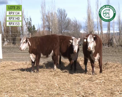 Lote SAN MARÓN L25 VAQUILLONAS PP HEREFORD
