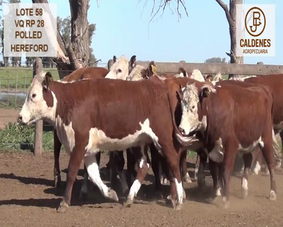 Lote VAQUILLONAS HEREFORD MOCHAS (Corral 58)