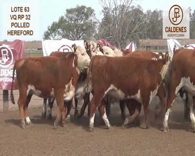 Lote VAQUILLONAS HEREFORD MOCHAS (Corral 63)
