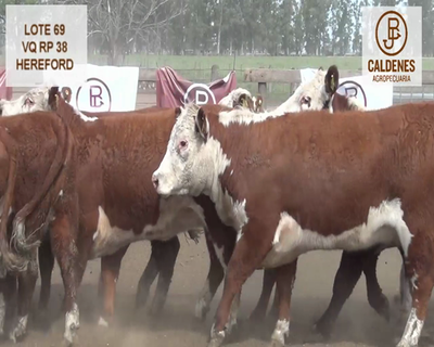 Lote VAQUILLONAS HEREFORD ASTADAS (Corral 69)