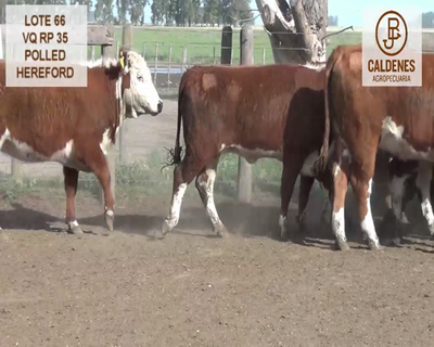 Lote VAQUILLONAS HEREFORD MOCHAS (Corral 66)