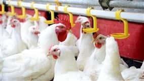 Em agosto, frango vivo e ovo voltaram a perder não só da inflação, mas também de sua principal matéria-prima, o milho