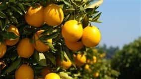 Família Vicenzi sempre teve aptidão para trabalhar com a fruticultura