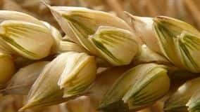 Baixa qualidade e o menor volume de produção de trigo no Paraná