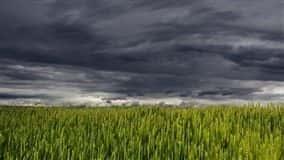 Trigo está com 15% em floração e 65% em enchimento de grão e 20% maduro por colher