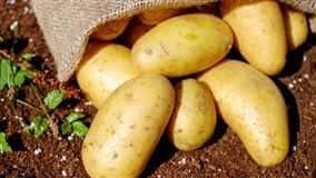Qualidade da batata ágata especial está sendo prejudicada pelo aumento da temperatura em muitas regiões produtoras acompanhadas pelo Cepea