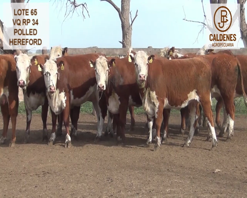 Lote VAQUILLONAS HEREFORD MOCHAS (Corral 65)