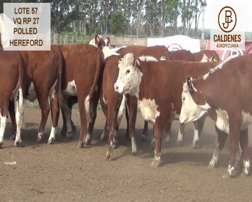 Lote VAQUILLONAS HEREFORD MOCHAS (Corral 57)
