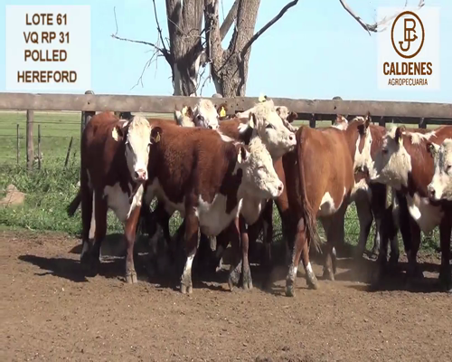 Lote VAQUILLONAS HEREFORD MOCHAS (Corral 61)