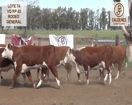 Lote VAQUILLONAS HEREFORD RG (Corral 74)